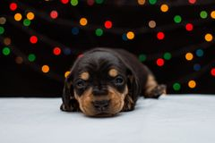 Puppy dachshunds on a beautiful background. A small cute animal. Dog.