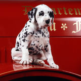 Puppy dalmation on a fire truck Royalty Free Stock Photography
