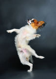 Puppy dancing Royalty Free Stock Photo