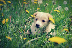 Puppy in dandelions Royalty Free Stock Image