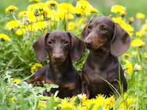 Puppy and dandelions flowers Stock Photo