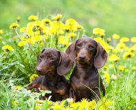 Puppy and dandelions flowers Stock Image