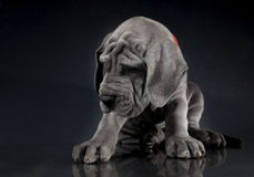 Puppy on a dark background Royalty Free Stock Photos
