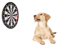 Puppy and darts Stock Image