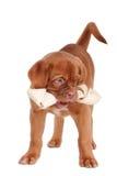 Puppy dat een been eet Stock Afbeelding