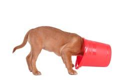 Puppy dat een emmer inspecteert Stock Fotografie