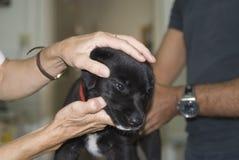 Puppy dat gecontroleerd wordt Stock Fotografie