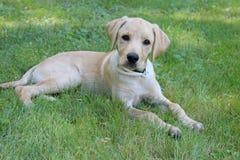 Puppy dat in het gras ligt Stock Fotografie
