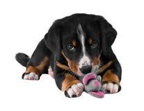 Puppy dat op wit wordt geïsoleerdc Royalty-vrije Stock Foto's