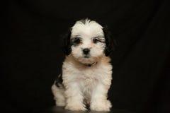 Puppy dat op zwarte wordt geïsoleerdd Stock Afbeeldingen