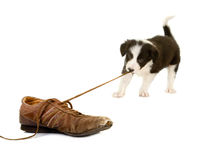 Puppy dat schoenkant trekt Stock Foto's