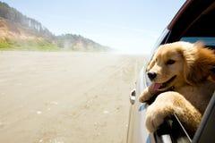 Puppy dat uit venster van auto kijkt Stock Foto