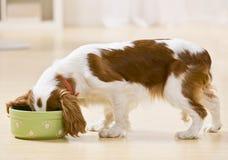 Puppy dat van hondschotel eet stock afbeelding