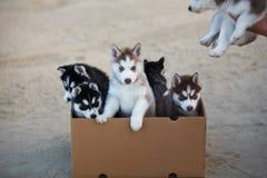 Puppy in de doos stock foto's