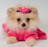 Puppy in de kleding in studio stock foto's