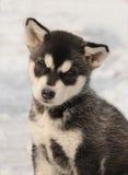 Puppy in de winter Stock Foto's