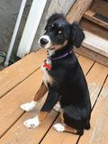 Puppy on the deck Royalty Free Stock Image