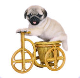 Puppy on a decorative bicycle. Stock Photo