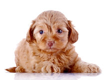 Puppy of a decorative doggie on a white background. Stock Photos
