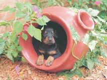 Puppy del Doberman in POT del fiore Immagini Stock