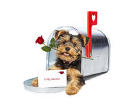 Puppy Delivering Valentine and Rose Stock Photo