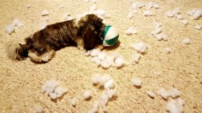 Puppy destroys a toy. Puppy is destroying a stuffed toy ball Royalty Free Stock Images