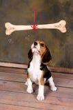 Puppy die bij been staren Stock Fotografie