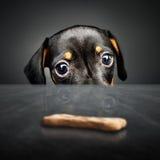Puppy die naar een traktatie snakken Stock Afbeeldingen