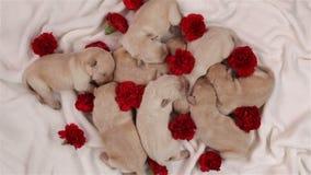 Puppy die onder verspreide rode anjers slapen stock videobeelden
