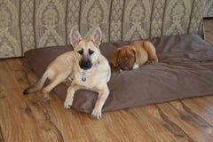 Puppy die op een bed leggen Stock Afbeelding