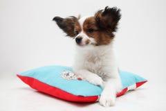 Puppy die op een hoofdkussen liggen Stock Fotografie