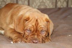 Puppy die op zijn bed leggen Royalty-vrije Stock Afbeeldingen