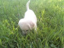 Puppy discovered grass. Puupy outside sun shines royalty free stock photos