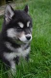 Puppy with Distinctive Black and White Markings in Grass Stock Images