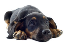 Puppy doberman Royalty Free Stock Photos
