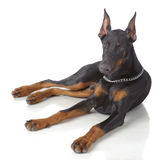 Puppy of doberman laying Stock Photos