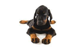 Puppy of doberman pincher Stock Image