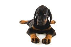 Puppy of doberman pincher Stock Image
