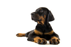Puppy of doberman pincher Royalty Free Stock Image