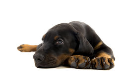 Puppy of doberman pincher Royalty Free Stock Photography