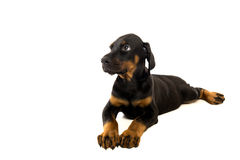 Puppy of doberman pinscher Stock Image