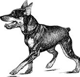 Puppy of a Doberman pinscher. Vector drawing of the walking doberman terrier puppy Stock Photography