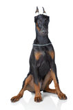 Puppy of doberman sitting Royalty Free Stock Images