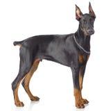 Puppy of doberman standing Stock Image