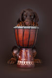 Puppy of Dobermann terrier and drum Stock Images