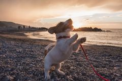 Puppy dog ​​at sunset at the beach. Look at the master royalty free stock photos