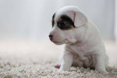 Puppy dog jack russel terrier Stock Images