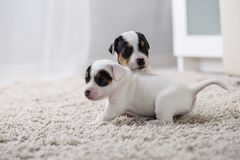 Puppy dog ​​jack russel terrier Royalty Free Stock Photography