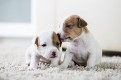 Puppy dog ​​jack russel terrier Stock Photos