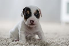 Puppy dog jack russel terrier Royalty Free Stock Images